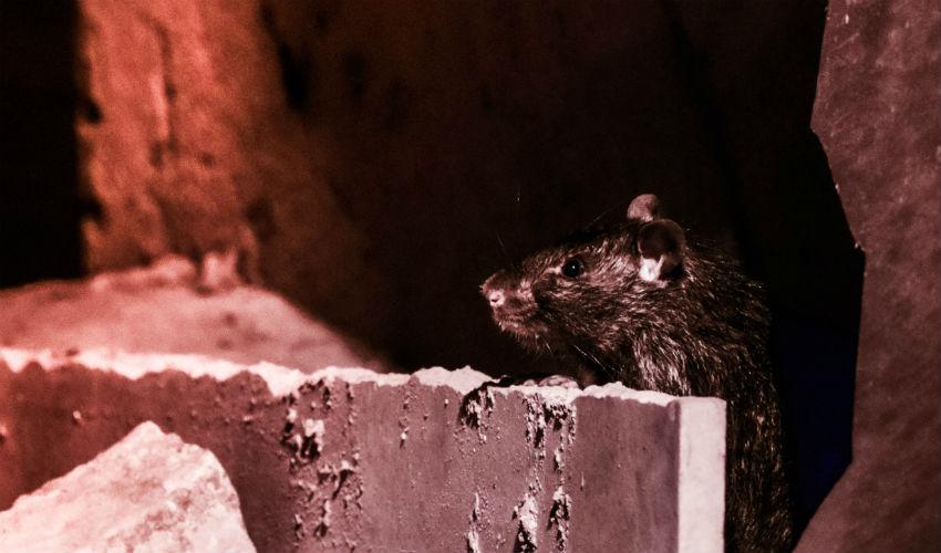 חולדה עכברוש