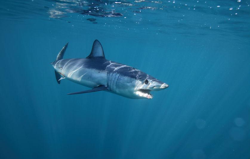 כריש עמלץ כחול (צילום: שאטרסטוק)
